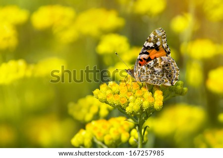 Painted Lady butterfly (Vanessa cardui) on a flowering immortelle - stock photo