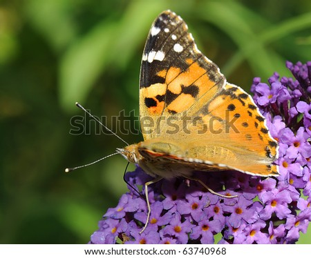 Painted lady (Vanessa cardui) on a butterfly-bush (buddleja davidii). Shallow DOF - stock photo