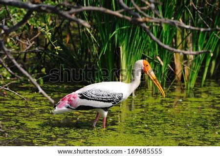Painted Stork - stock photo
