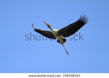 Painted Stork in his natural habitat - stock photo