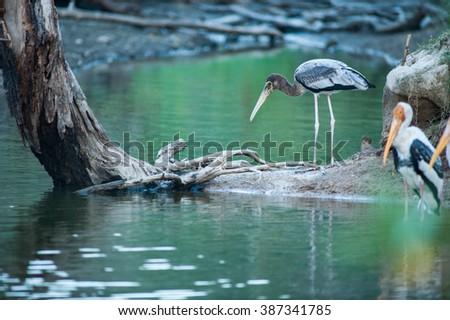Painted Stork (Mycteria leucocephala) juvenile feeding in wetland, Thailand - stock photo