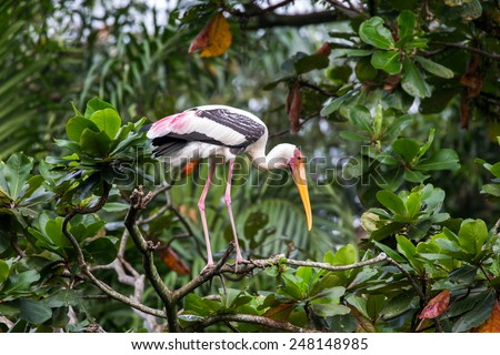 Painted stork on tree top - stock photo