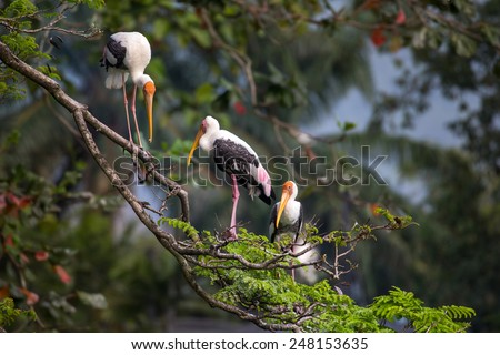 Painted storks resting on tree top branches - stock photo