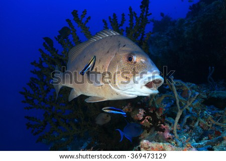 Painted sweetlips fish (Diagramma pictum) and cleaner fish in the tropical reef of the indian ocean - stock photo