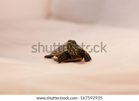 Painted Turtle - stock photo