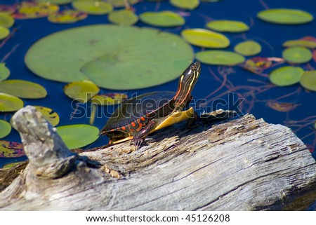 Painted Turtle on Log - stock photo