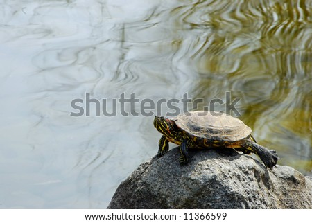 Painted Turtle sunning himself on a rock in a pond - stock photo