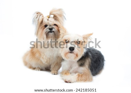 pair cute small dogs isolated on white background