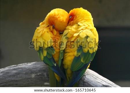 Pair lovebirds - stock photo
