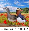 Pair mandarin ducks  in a field poppies. - stock photo