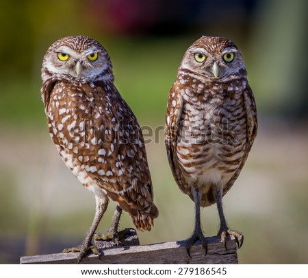 Pair of adorable borrowing owls - stock photo