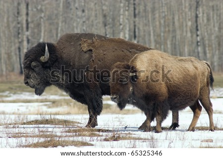 Pair of adult North American bison from Elk Island National Park in Alberta - stock photo