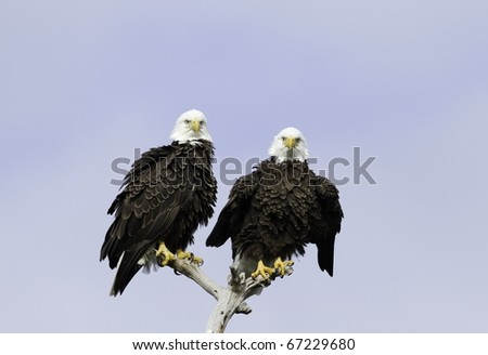 Pair of American Bald Eagles Sitting in Tree - stock photo