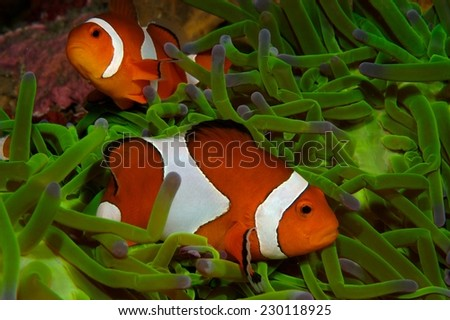 Pair of Amphiprion oscellaris clownfish