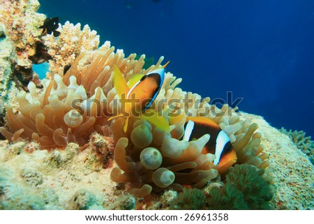 Pair Of Anemonefishes