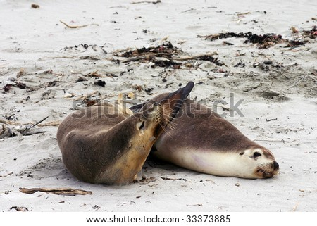 Pair of Australian sea lion (Neophoca cinerea) friends on a beach at Seal Bay, Kangaroo Island, South Australia - stock photo