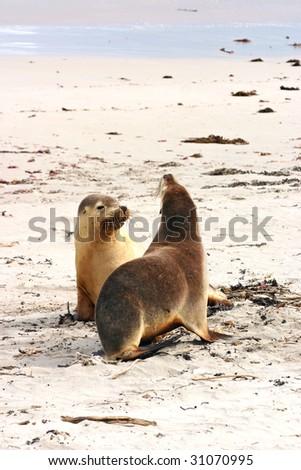 Pair of Australian sea lions (Neophoca cinerea) on the beach at Seal Bay, Kangaroo Island, South Australia; - stock photo
