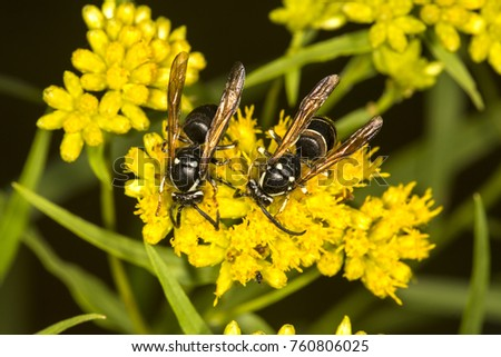 Pair of bald faced hornets, Dolichovespula maculata, on yellow flowers at Lake Solitude on Mt. Sunapee in Newbury, New Hampshire.