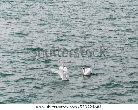 Pair of beautiful swans on windy lake