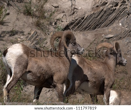 Pair of Bighorn Mountain Sheep rams (Ovis canadensis) in the Bow Valley, east of Banff of Alberta - stock photo