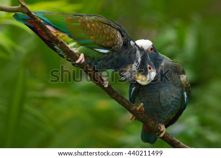 Pair of birds, green and grey parrot, White-crowned Pionus, White-capped Parrot, Pionus senilis, in Costa Rica. Lave on the tree. Parrots courtship in the nature. Pair of parrots in the tropic forest. - stock photo