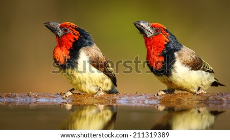 Pair of black collared barbet standing at edge of quiet pond - stock photo