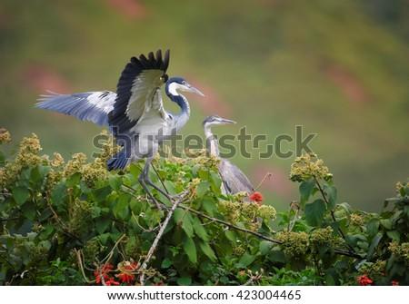 Pair of Black-headed Heron, Ardea melanocephala on nest in treetop against blurred steep tea field in background. Uganda. - stock photo
