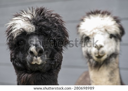 Pair of black, white, and rose gray alpacas on a dark blue barn background. - stock photo