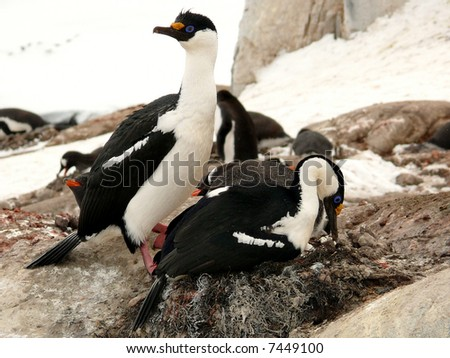 pair of blue-eyed shags nesting in antarctica, gentoo penguins in the background. - stock photo