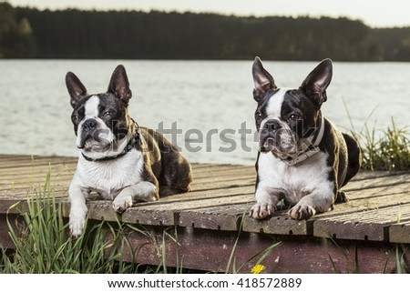 Pair of boston terrier puppies laying on  wooden footbridge in a sunny day