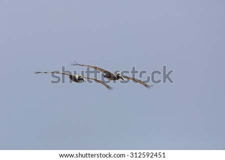 Pair of Brown Pelicans (Pelecanus occidentalis) in flight over the Gulf of Mexico - Texas - stock photo