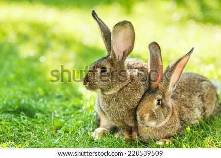 Pair of brown rabbits sitting in grass - stock photo
