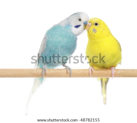 Pair of budgies, isolated on a white background - stock photo