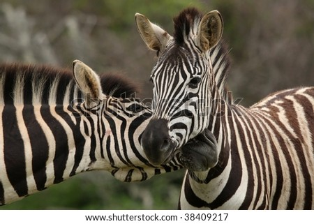 Pair of Burchell's or plains zebras greeting each other