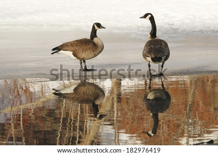 Pair of Canada Geese (Branta canadensis) standing at edge of ice on a river - Ontario, Canada - stock photo