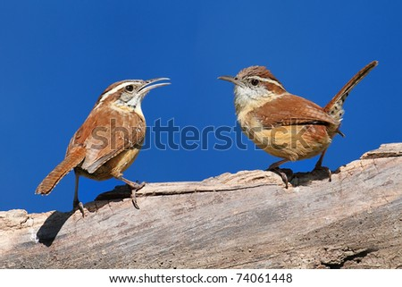 Pair of Carolina Wrens (Thryothorus ludovicianus) on a branch with a blue sky background - stock photo