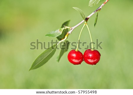 Pair of cherries on cherry-tree in orchard. Shallow focus depth on cherries - stock photo