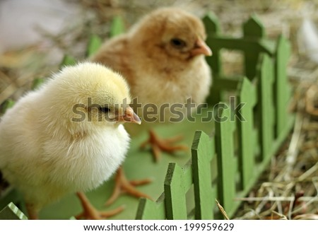 Pair of chicks sitting in green box, close-up - stock photo
