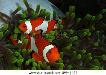Pair of Clown fish in green anemone - stock photo