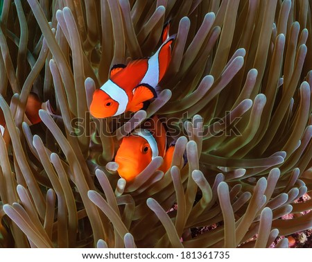 Pair of Clownfish in their host anemone - stock photo