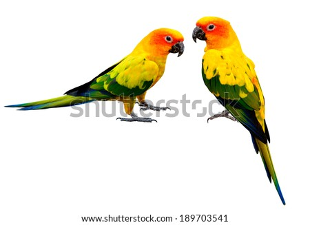 Pair of Colorful Sun Conure, beautiful yellow parrot birds isolated on white background - stock photo