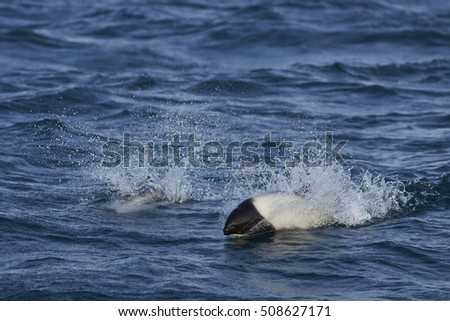 Pair of Commerson's Dolphin (Cephalorhynchus commersonii) swimming through the sea off Carcass Island in the Falkland Islands