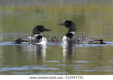 Pair of Common Loons (Gavia immer) Keeping Watch Over Their Baby - Haliburton, Ontario - stock photo