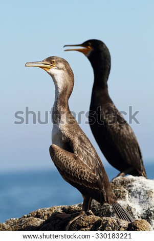Pair of cormorants on the rock - stock photo