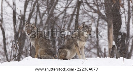 Pair of coyotes - stock photo