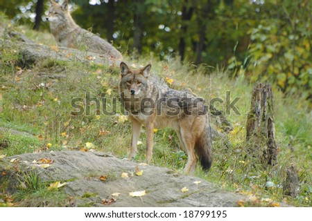 Pair of coyotes roaming the mountain side