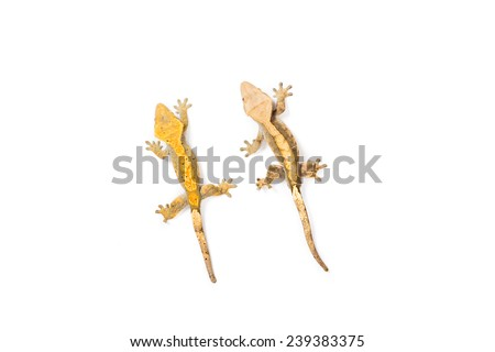 Pair of crested geckos  - stock photo