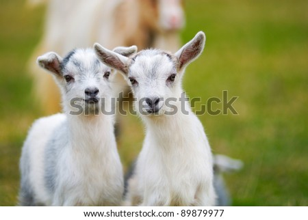 pair of curiosity goatlings, kids - stock photo