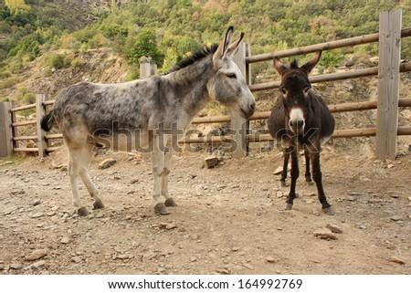 pair of donkeys waiting on dusty road - stock photo