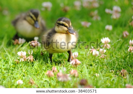 Pair of ducklings waddling through grass - stock photo